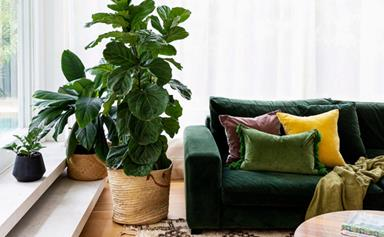 Fiddle leaf fig: Expert tips on growing, caring for and maintaining Ficus lyrata