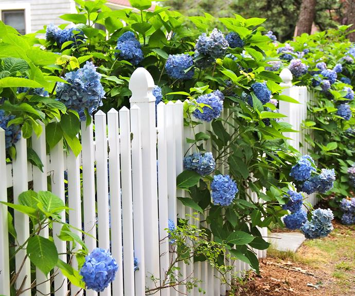 """Hydrangeas are a classic flower. Landscaper Matt Leacy says they're especially suited to [Hamptons-style gardens](https://www.homestolove.com.au/hamptons-garden-design-tips-22811