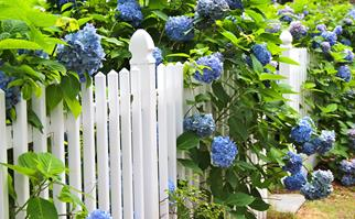 White picket fence with blue hydrangeas growing above and through it