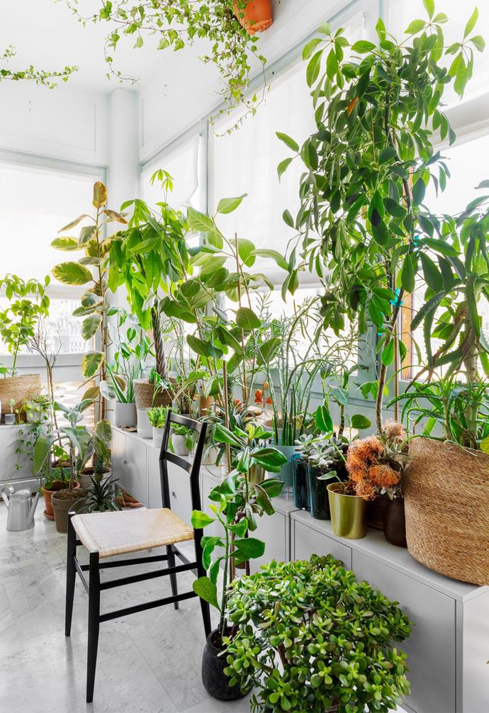 """A host of evergreen plants, including philodendrons, rubber plants, aloe vera, [fiddle leaf figs](https://www.homestolove.com.au/fiddle-leaf-fig-care-tips-for-your-fiddle-leaf-fig-22628