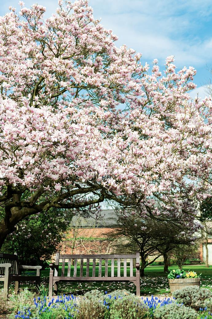 Magnolia trees produce stunning blooms and plenty of shade.