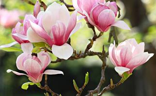 Pink and white magnolia flowers in bloom