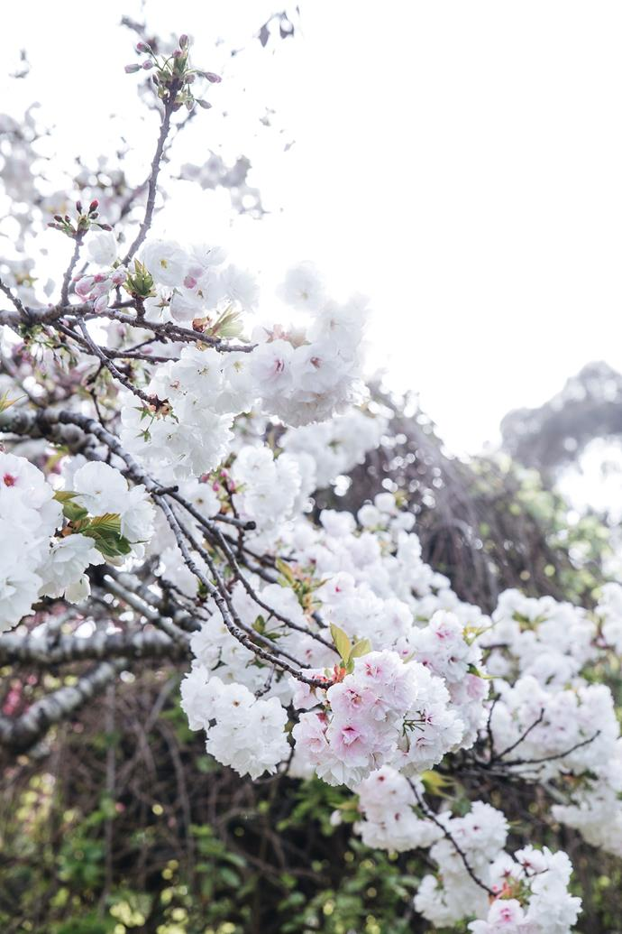 """The blossoms of the double-flowering cherry tree in the established gardens of [Ford House in Bridgetown](https://www.homestolove.com.au/ford-house-garden-bridgetown-19964 target=""""_blank""""), WA."""