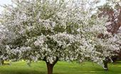 Spring blossoms: trees to plant for beautiful blooms