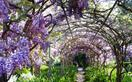 Wisteria plant guide: types, climate and when to prune
