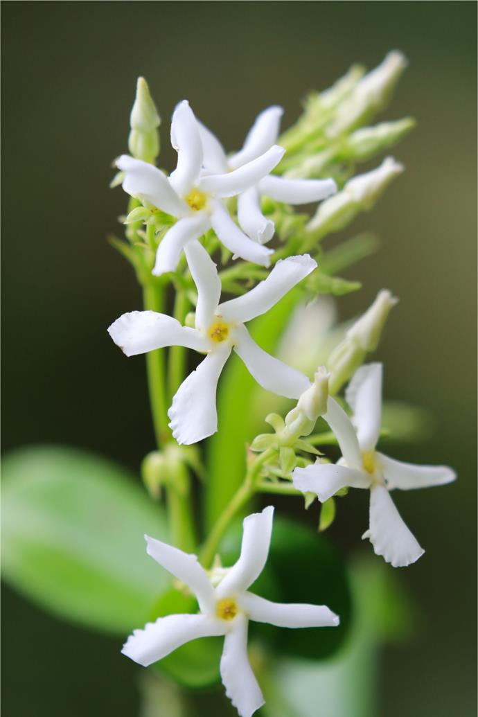 (*Trachelospermum jasminoides*).