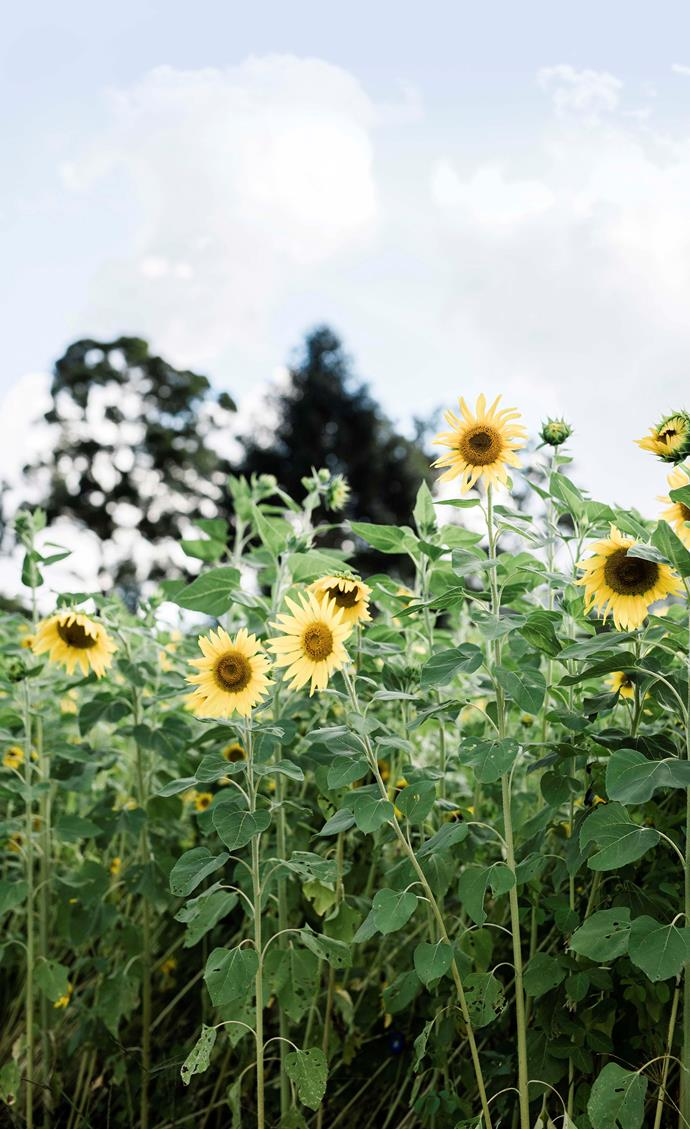 Rows and rows of cheerful sunflowers greet visitors to Silverwood Farm.