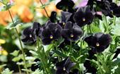 10 beautiful black flowers from roses to tulips and beyond