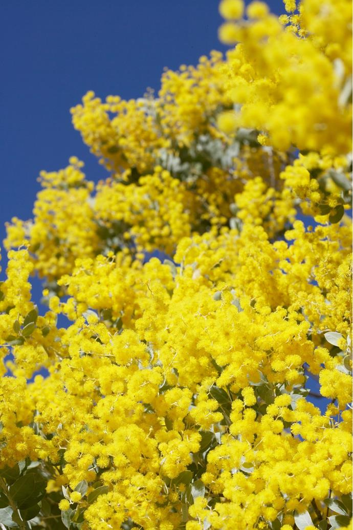 **Wattle** *(Acacia)*. The national symbol of Australia, wattle bursts into a profusion of true yellow, fluffy balls in winter and spring. Flowers are made purely of stamens, without petals. A member of the *Mimosaceae* family, trees are fast-growing but don't live forever so excellent for a burst of colour and/or shade in new gardens. Pictured here is *Acacia x Floribunda*, whereas Golden Wattle, (*Acacia pycnantha*) is Australia's official floral emblem. Ranging in growth from shrubs to small trees, the flowers are a good source of pollen so attract bees.