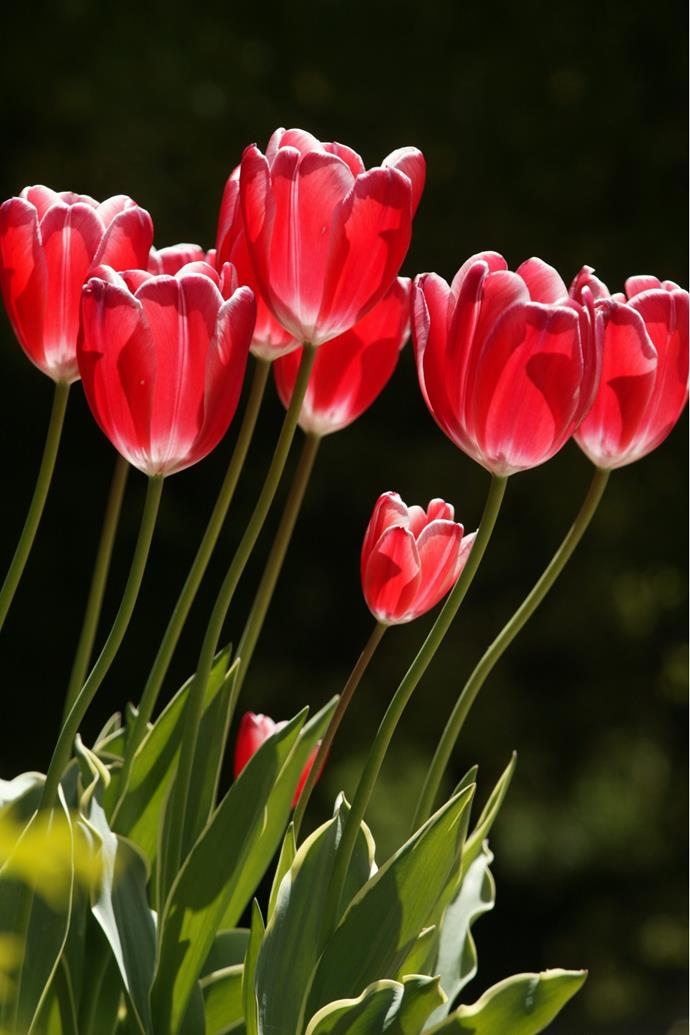 """**Tulip.** Bursting from flower beds with bold, bright colours, tulips are often planted enmasse for a striking display. The colours range from white and cream to yellow, orange, red and purple to deepers hues of burgundy and [black](https://www.homestolove.com.au/black-flowers-tulips-roses-lilies-irises-pansies-and-hollyhocks-13639 target=""""_blank""""). Plant tulip bulbs in full sun in a well-drained soil, clustered together for maximum impact, or [grow in a vase inside](https://www.homestolove.com.au/how-to-grow-tulip-bulbs-in-a-vase-10586 target=""""_blank""""). Allow spent leaves to die down in place before lifting the bulbs at the end of flowering to store for next season."""