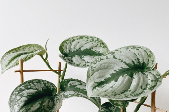 Satin vine (scindapsis pictus)