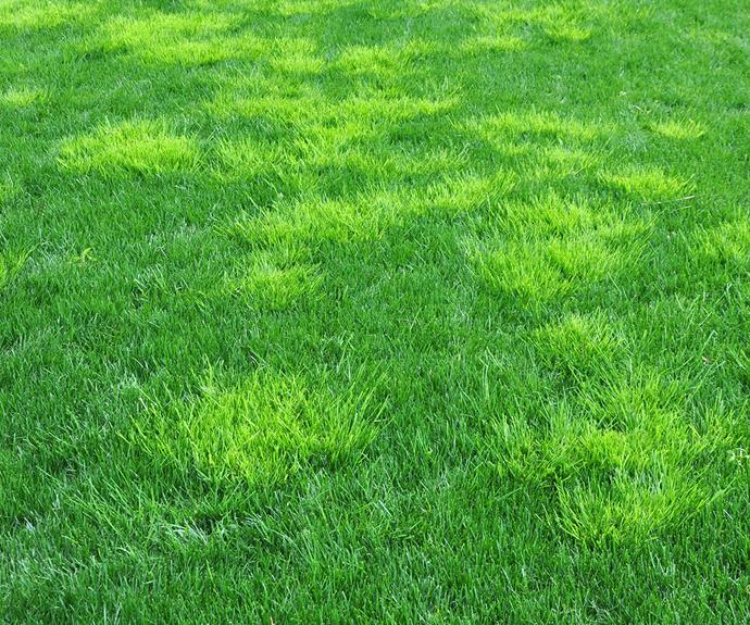 During winter and spring, tufts of winter grass will be easy to spot in a healthy lawn.