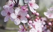 How to grow and care for plum blossom trees