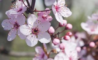 Pale pink plum blossom flowers up close