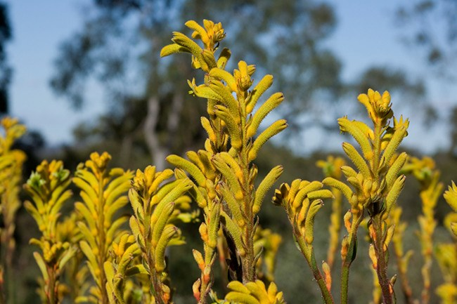 **Kangaroo Paw.**  Said to represent the paw of our beloved marsupial, the wild kangaroo paw gives some nostalgia to any wildflower bouquet. Velvet fingers curl on an angle and taper into sweet furls, in colours ranging from pale pink, cream, reds, citric yellows, grays to the striking green and black.