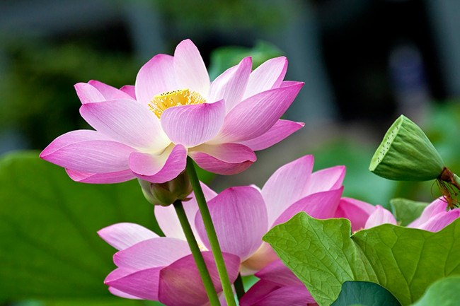 **Water Lily .**  Made famous by Monet's ethereal paintings, the water lily, with its multitude of spiked petals layered over themselves come in blushed pinks, lemon, white , rich violet and deep pink. The national flower of Sri Lanka.
