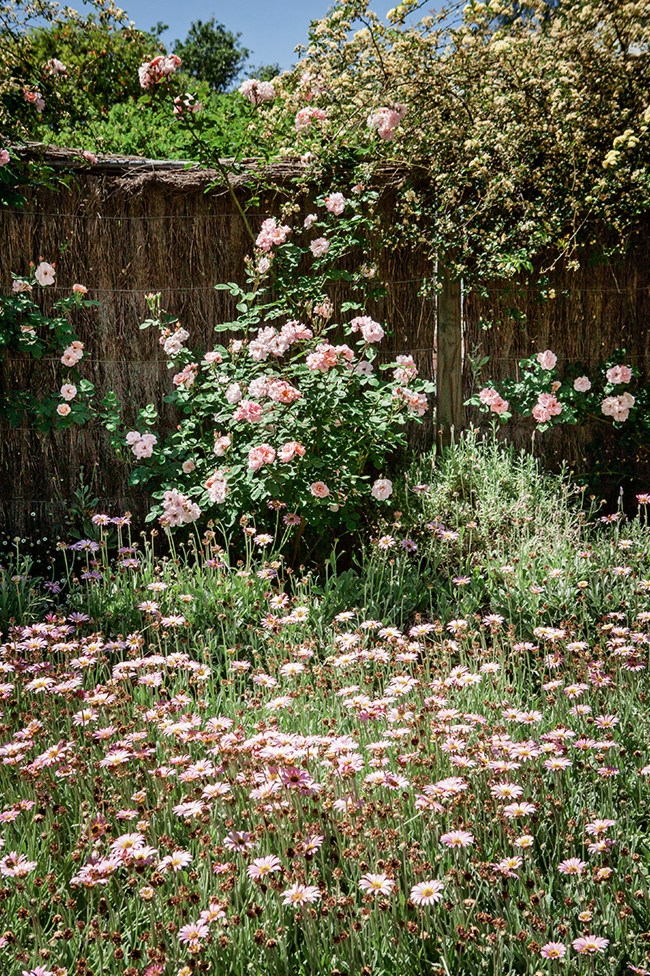 """'Claire Martin' shrub roses and climbing 'Banksia' roses underplanted with African daisies at [Bundella Flower Garden](https://www.homestolove.com.au/garden-arbour-13350