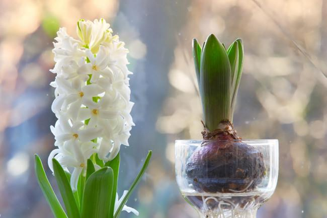 """**Grow hyacinth:** Take advantage of a windowsill to grow and display [hyacinth bulbs](https://www.homestolove.com.au/how-to-grow-hyacinth-8076