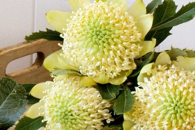 _'Wirrimbirra White'_ are considered collector's items and is a naturally occurrence found in the Southern Highlands of New South Wales.   [   ](/garden/grow/how+to+grow+waratahs,3545) | Photo: Scott Hawkins