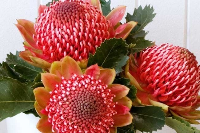 _'Green Bracts'_ | The botanic name for the waratah is, Telopia, is from the Greek telopos, meaning seen from afar.   [](/garden/grow/how+to+grow+waratahs,3545)  How to [grow waratahs.](http://www.homelife.com.au/garden/plants/how+to+grow+waratahs,3545) | Photo: Scott Hawkins