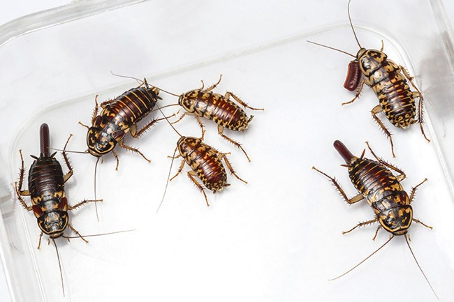 5\. Cockroaches. Cockroach allergens come from droppings, called frass. The allergens tend to be heavy, similar to dust mite allergen, and are only likely to be airborne with activities such as sweeping or vacuuming – so it's best to fix the pest problem rather than clean the mess. The airborne cockroach particles enter the mucous membranes of the eyes, nose, and lungs, and are known to cause or worsen various allergic diseases such as allergic rhinitis and asthma. [Related: How to make natural cockroach repellant](http://www.homelife.com.au/craft-diy/craft/natural-cockroach-repellent)