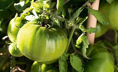 Plant guide: Tomatoes