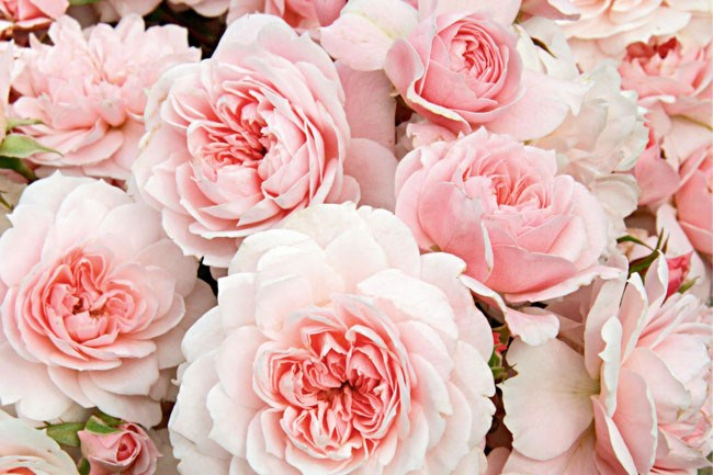 **Create your own romantic garden** | Perfume and flowers are essential ingredient in the romantic garden - think roses, lavender and jasmine.[](/grow/2550/how+to+grow+fragrant+roses)  [How to grow fragrant roses](http://www.homelife.com.au/garden/grow/how+to+grow+fragrant+roses,5436)