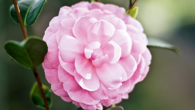 """Camellia. Known as the """"Queen of the Winter Flowers"""", camellias were the signature bloom of Mademoiselle Coco Chanel. Big, waxy petals create nature's own pom pom nestled in rich green foliage. Colours range from crimson, to crisp white, blushed pinks to heady corals. A timeless choice for the winter bride."""