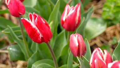 Plant guide: Tulips