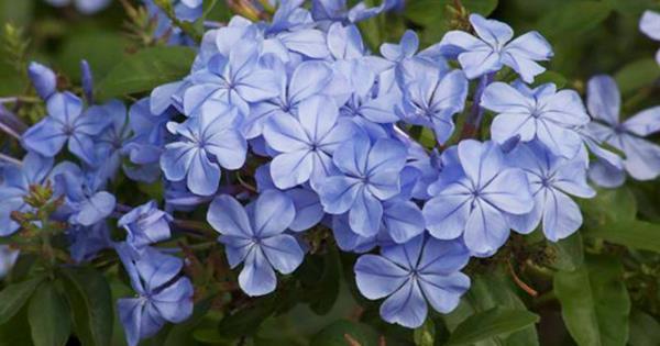 Plant Guide Plumbago Homelife