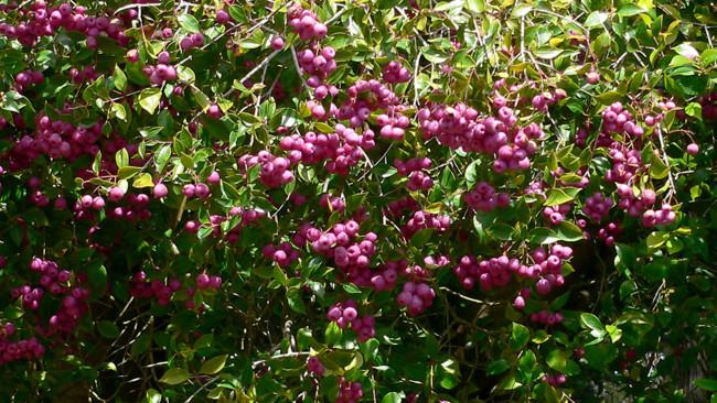 Lilly pilly bush