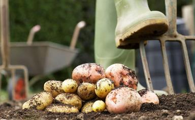 Growing starch vegetables