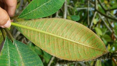 Disease: Frangipani rust