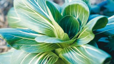 How to grow Chinese greens