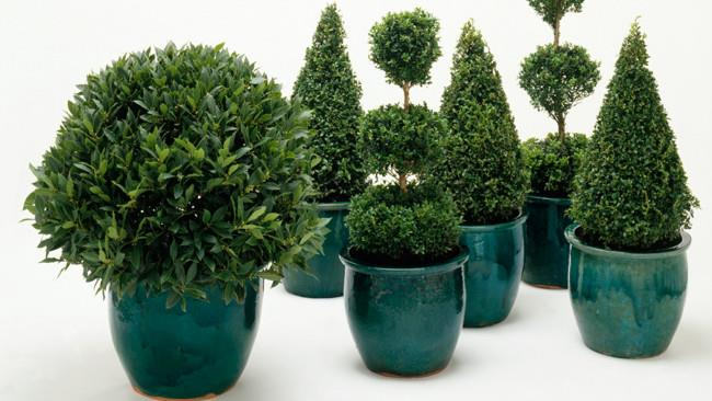 Sculpt potted topiary plants (like buxus) into Christmas tree shapes - or any shape you like, really - for presents to nestle under.