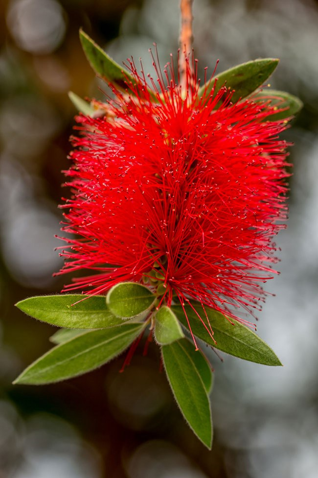 **Bottle Brush** | Bird attracting and garden brightening, bottle brush require just a little attention once established. Annual feeds with a native [fertiliser](http://www.homelife.com.au/gardening/features/how+to+use+fertiliser,15881) in spring, and weekly watering will keep this bright spark happy in your yard.