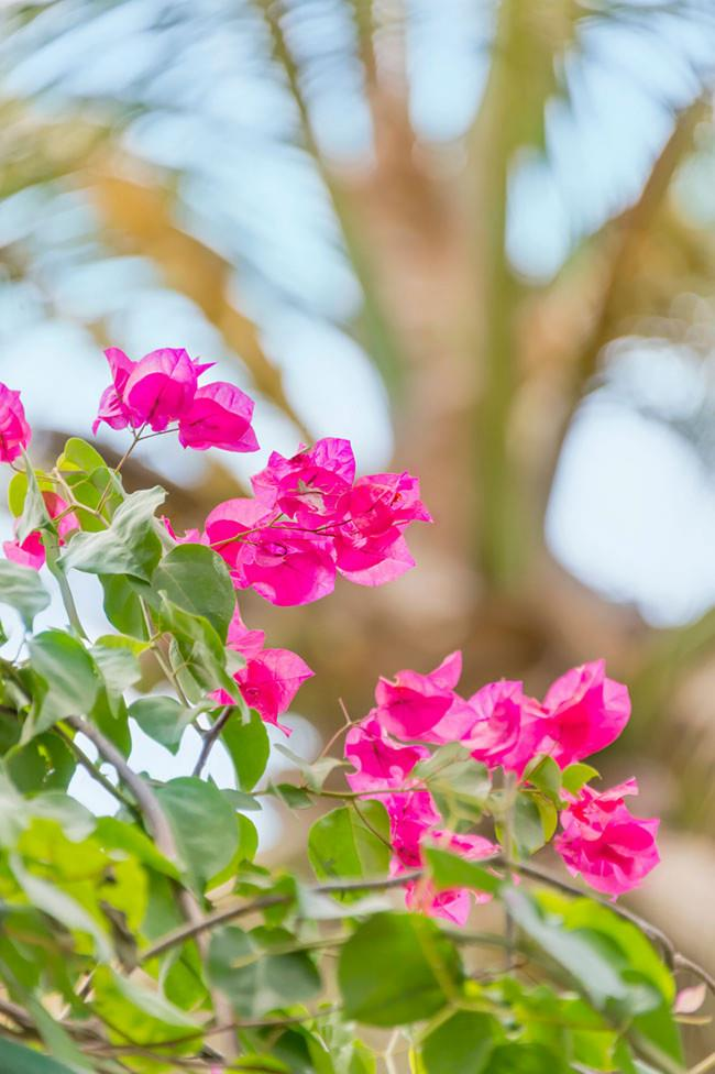 **Bougainvillia **<p> <p>New varieties of dwarf bougainvilleas (the 'Bambino Bougs') do well in pots and more confined courtyard gardens. If you have the space though, nothing says summer like a scrambling, cerise bouganvillea.<p>