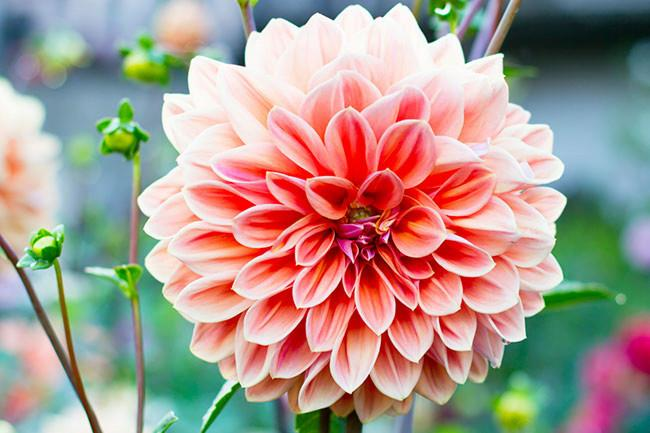 "**Dahlia**<p> <p>Dahlias require full sun with and miniature varieties are suitable for [growing in pots](https://www.homestolove.com.au/top-performing-potted-plants-for-your-garden-2183|target=""_blank"")."