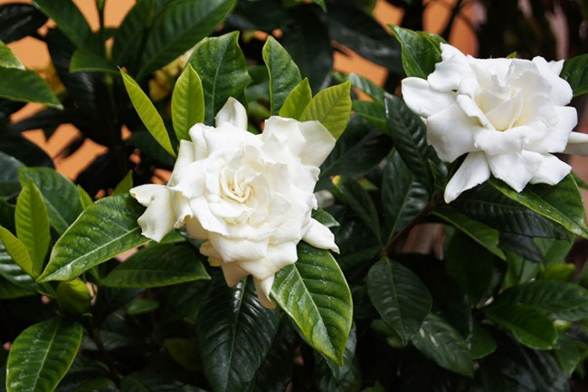 **Gardenia** | The beautiful perfume of [gardenia](http://www.homelife.com.au/gardening/features/how+to+grow+white+christmas+flowers,4508) blooms fill a garden. Be sure to keep up the fertiliser each season and water in well, they are heavy feeders and will reward you with plentiful flowers and lush green growth for your efforts.