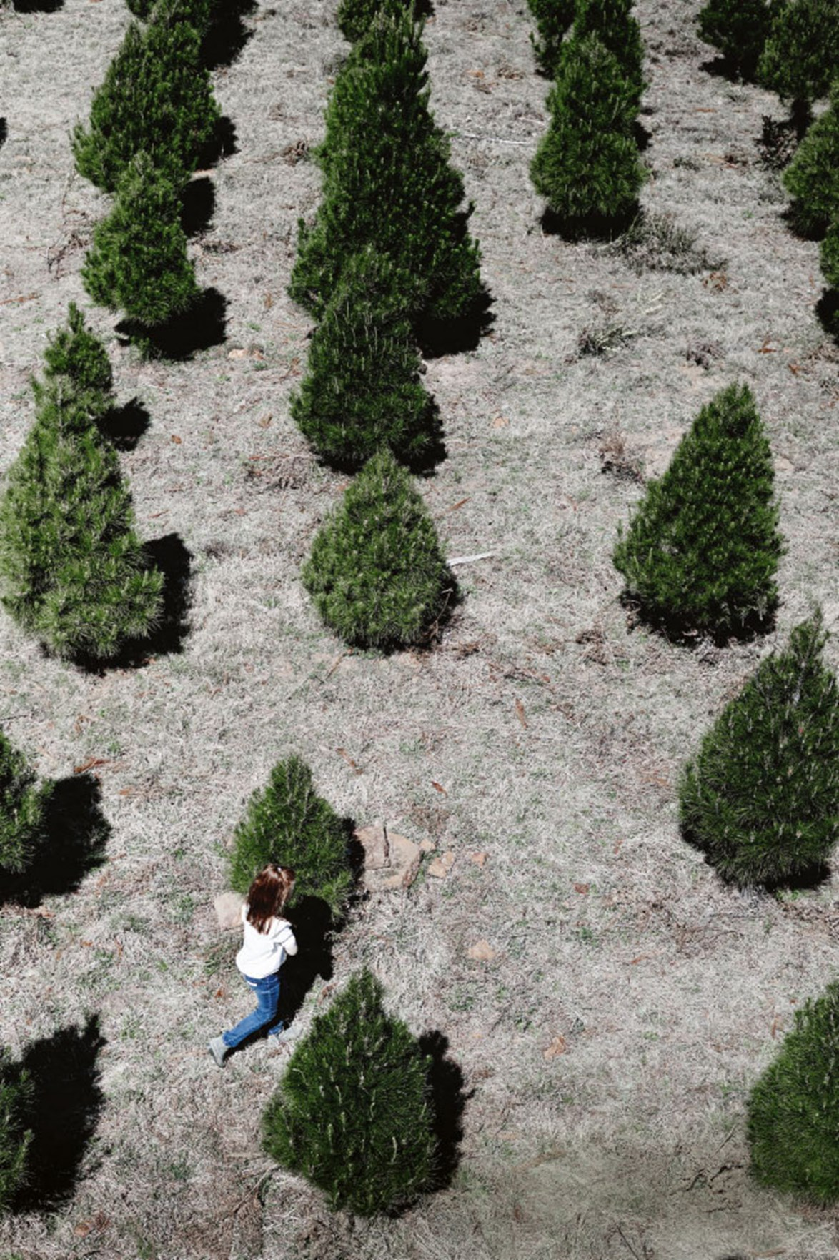 Pine trees are farmed specifically for the Christmas season. As they grow, they filter the air and absorb carbon. They are also 100% recyclable.*Photo: Mark Roper*
