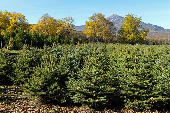 """**Blue spruce **(*Picea pungens 'Glauca'*): A European conifer well-suited for [Christmas decorations](https://www.homestolove.com.au/3-diy-christmas-decorations-you-can-make-at-home-16610