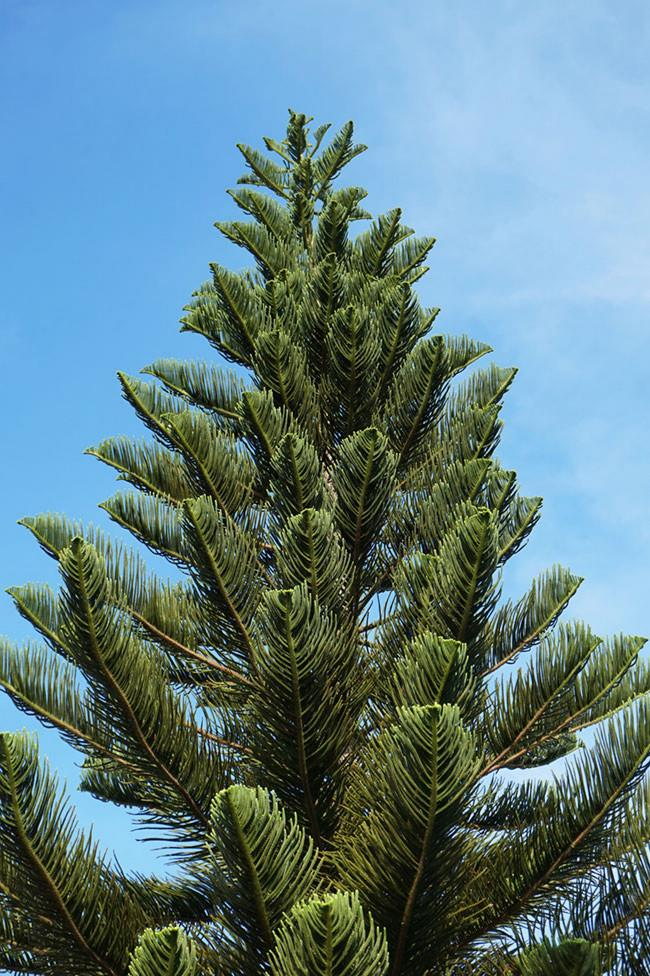 **Norfolk Island pine ** (*Araucaria heterophylla*): This tree grows well in pots and can be kept indoors for a couple of weeks. Its horizontal branches are ideal for hanging decorations. Move it gradually into larger pots and resist planting it in your garden unless you have a very large space, as full-grown trees can reach 10m high or more.