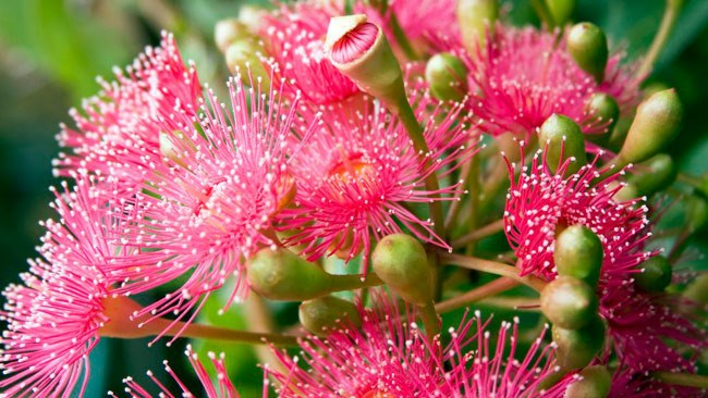 Flowering Eucalyptus. Easily recognised as part of the Australian landscape, with its fluffy stamens billowing from a bark like gum nut and sleek long silver green leaves. The pods or nuts make for quite a contrasting texture, but truly come into there own when bursting and in full bloom in coral, pink, red and lemony white shades. The ideal bloom for an Australiana themed wedding.