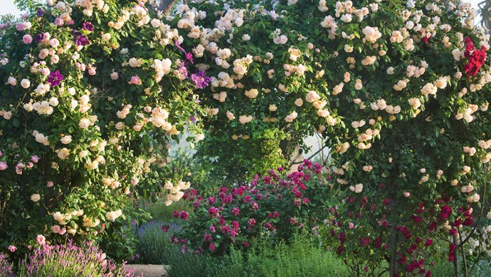 The hybrid musk 'Buff Beauty', which thrives in Australia's southern states, throws out long stems that make it a desirable climber. 'General Gallieni', a pink-red tea rose, flowers endlessly. | Photo: Claire Takacs