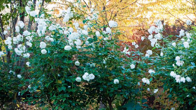 The ever-popular 'Iceberg' rose, first bred in Germany in 1958, is a common sight in gardens across Australia. It flowers in all weather and is almost thornless, with a compact, bushy growth. | Photo: Claire Takacs
