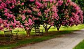 Plant guide: Crepe myrtle
