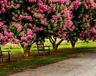 crepe-myrtle-tree