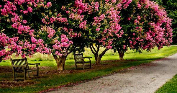 Plant Guide Crepe Myrtle Homelife