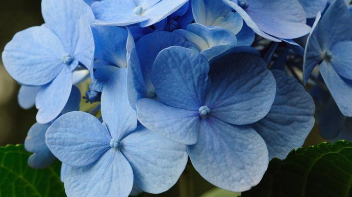 Hydrangea (Hydrangea macrophylla). Hydrangeas flower blue where soils are acidic. These summer-flowering shrubs came originally from Asia. The small Azores island of Faial has so many wild hydrangea that it has been dubbed the Blue Island.