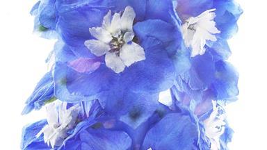 7 most beautiful blue flowers
